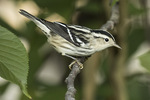 Adult female Black-and-white Warbler (Mniotilta varia) in mid-August on fall migration.