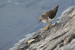 Juvenile Spotted Sandpiper (Actitis macularius) in late August on fall migration.