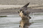 One-year-old Peregrine Falcon (Falco peregrinus) bathing in a puddle in early September.