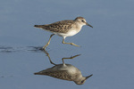 Juvenile Least Sandpiper (Calidris minutilla) running through a puddle in late August on fall migration.