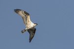 Juvenile Osprey (Pandion haliaetus) in flight in mid-September.