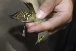 First-fall White-eyed Vireo (Vireo griseus) at a banding station in mid-September on fall migration.