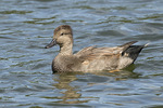 Male Gadwall (Mareca strepera) molting from alternate (eclipse) into basic (breeding) plumage in late September.