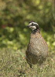 Male Northern Bobwhite (Colinus virginianus) in early October. Introduced.