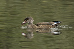 Male Wood Duck (Aix sponsa), hatch-year or eclipse-plumaged adult, in mid-October.