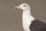 Adult Great Black-backed Gull (Larus marinus) in winter plumage in mid November.