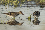 Juvenile Pectoral Sandpipers (Calidris melanotos) foraging in a puddle in late October on fall migration.