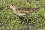 Juvenile Pectoral Sandpiper (Calidris melanotos) in late October on fall migration.
