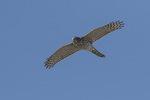 Juvenile Cooper's Hawk (Accipiter cooperii) in flight in late October.