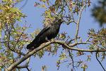 American Crow (Corvus brachyrhynchos) in early November.