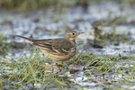 American Pipit (Anthus rubescens) in mid-November.