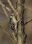 Male Downy Woodpecker (Dryobates pubescens) pecking on tree trunk in search of insects in mid-November.