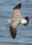 First-winter Laughing Gull (Leucophaeus atricilla) in flight in mid-November.