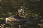 Pied-billed Grebe (Podilymbus podiceps) swallowing a fish.