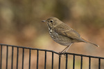 Hermit Thrush (Catharus guttatus) on fall migration in mid-November.