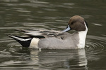 Adult male Northern Pintail (Spatula clypeata) preening in mid-November.