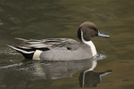 Adult male Northern Pintail (Spatula clypeata) in mid-November.