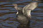 American Coot (Fulica americana) stretching its wings in late November.