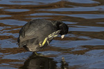 American Coot (Fulica americana) scratching its head in late November.
