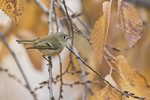 Male Ruby-crowned Kinglet (Regulus calendula) in late November.