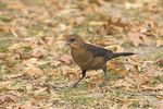 Immature Boat-tailed Grackle (Quiscalus major) in early December.