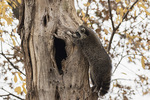 Raccoon (Procyon lotor) climbing a tree in early December.