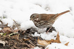 Fox Sparrow (Passerella iliaca) in mid-December.