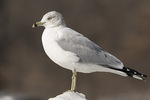 Adult Ring-billed Gull (Larus delawarensis) in mid-March.