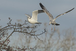 Ring-billed Gulls (Larus delawarensis), second-winter at left, first-winter at right, feeding in crab apple in mid-December.