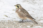 Horned Lark (Eremophila alpestris) foraging on the ground in late December.