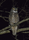 Great Horned Owl (Bubo virginianus) in late December.