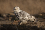 Immature Snowy Owl (Bubo scandiacus) in late February.