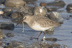 Dunlin (Calidris alpina) eating a worm in early January.