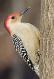 Male Red-bellied Woodpecker (Melanerpes carolinus) in mid-January.