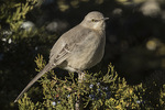 NOrthern Mockingbird (Mimus polyglottos) in Eastern Red Cedar (Juniperus virginianus) in mid-January.