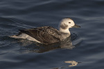 Immature male Long-tailed Duck (Clangula hyemalis) in early January.