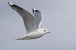 Adult Mew Gull (Larus canus) in flight in late February.
