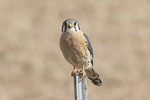 Male American Kestrel (Falco sparverius) perched on post in late January.