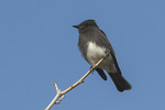 Black Phoebe (Sayornis nigricans) in late January.