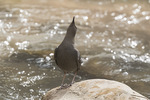 American Dipper (Cinclus mexicanus) singing in early February.