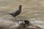 American Dipper (Cinclus mexicanus) in early February.