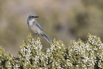 Woodhouse's Scrub-Jay (Aphelecoma woodhouseii) perched in juniper in late January.