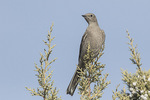 Townsend's Solitaire (Myadestes townsendi) in juniper in late January.