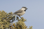 Mountain Chickadee (Poecile gambeli) in late Janary.
