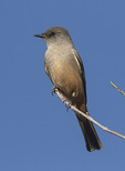 Say's Phoebe (Sayornis saya) in late January.