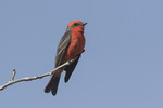 Male Vermillion Flycatcher (Pyrocephalus rubinus) in late January.