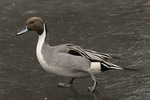 Male Northern Pintail (Anas acuta) walking on ice in early February.