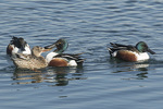 Northern Shovelers (Spatula clypeata) collide in early February.