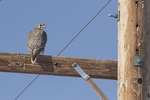Prairie Falcon (Falco mexicanus) in late January.