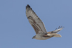 Ferruginous Hawk (Buteo regalis) in flight in late January.